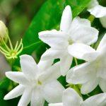 cari-tahu-tentang-bunga-melati-dan-sejuta-manfaatnya